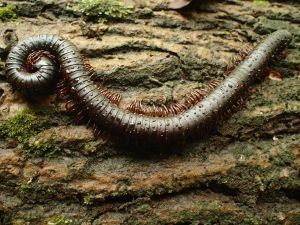 giant-millipede